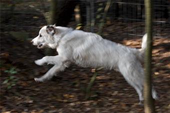 hond loopt mank met voorpoot