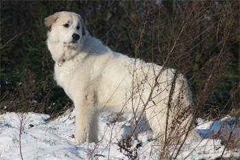 A mountain dog